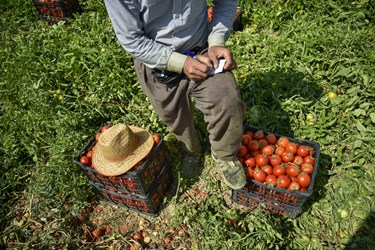 علی 33 ساله به عنوان سرکارگر ، در حال شمارش و یادداشت تعداد سبدهای برداشت شده گوجه فرنگی توسط کارگران دیگر