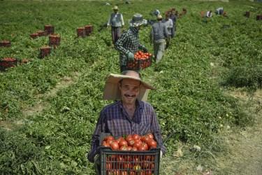 رحمان 41 ساله در حال انتقال سبدهای آماده شده گوجه فرنگی به سمت کامیون جهت انتقال به بازار مصرف روزانه و کارخانه های مواد غذایی