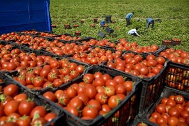 برداشت گوجه فرنگی در استان زنجان و چیدن آنها در سبدهای مخصوص و جابجایی سبدهای آماده شده گوجه فرنگی در کامیون جهت انتقال به بازار مصرف روزانه و کارخانه های مواد غذایی
