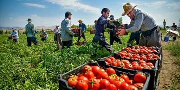 پیشبینی برداشت 10 هزار تن  گوجه فرنگی از اراضی بخش رخ