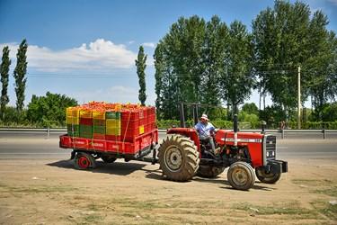 انتقال سبدهای آماده شده گوجه فرنگی توسط تراکتورهای کشاورزی به مرکز ارسال جهت انتقال به بازار مصرف روزانه و کارخانه های مواد غذایی در بخش زنجانرود استان زنجان