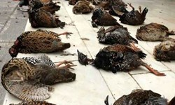 تکذیب تصاویر کشتار پرندگان در تالاب هورالعظیم