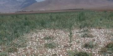 کشت پیاز به روش نشایی در چادگان برای صرفهجویی در آب و بذر