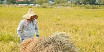 پیش بینی برداشت 30 هزار تن برنج در لرستان