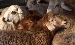 جریمه 70 میلیونی قاچاقچی گوسفند در قائنات