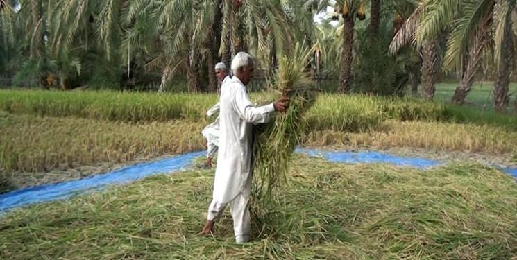 برداشت برنج در سیستان و بلوچستان