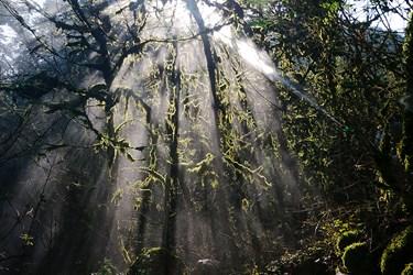 عمليات سم پاشی  درختان شمشاد در منطقه گلندرود رويان