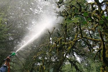 عمليات سم پاشی  درختان  شمشاد در منطقه جنگلي ماشلك نوش