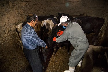 تزریق واکسن تب برفکی به دام در روستا های کردستان