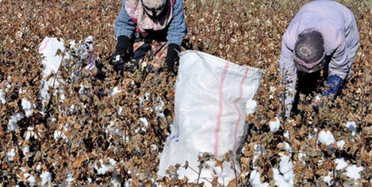 ناامیدی پنبهکاران گلستانی از کشت طلای سفید/ پیشی گرفتن هزینههای کشاورزی از درآمد کشاورزان