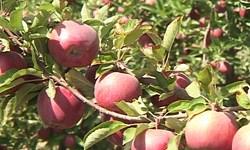 پیشبینی برداشت بیش از ۲۲۰ هزار تن سیب در دماوند