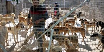 نگهداری از ۳۰۰ قلاده سگ ولگرد در صفادشت