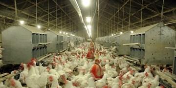 سویای مورد نیاز مرغداران به درستی تامین نمیشود