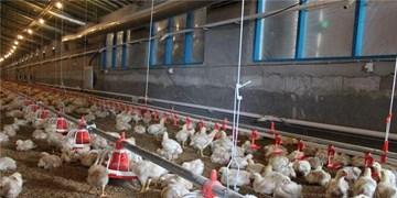 چرا مسؤولان بعد از 25 سال به فکر احیای مجدد مرغ لاین افتادهاند؟