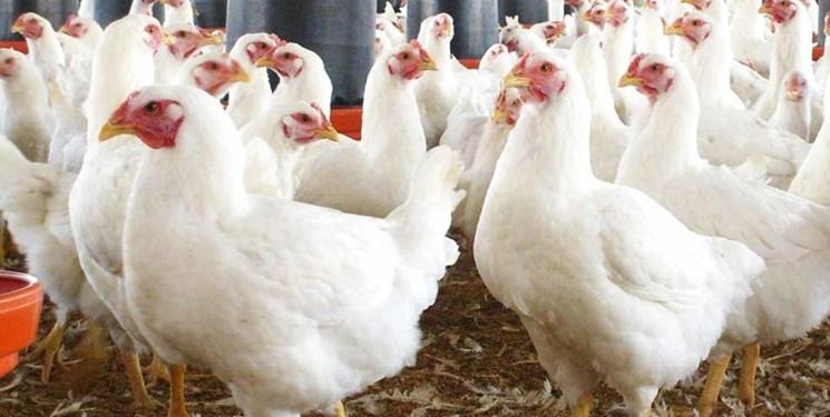 پشت پرده افزایش قیمت مرغ در بهبهان