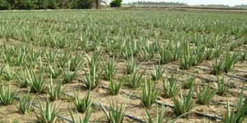 ایجاد مزرعه آلوئهورا در 2 هکتار از زمینهای کشاورزی کهگیلویه
