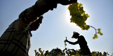انگور تاکستان ؛ از مزرعه تا کارخانه