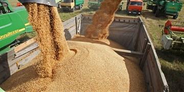 پیشبینی برداشت 12 میلیون تن گندم در کشور/ قیمت گندم باید اصلاح شود