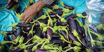 روزهای آخر برداشت بادمجان از باغهای سمنان+ تصاویر