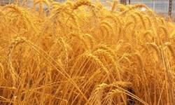 کمبودی در توزیع بذر گندم در ارزوئیه نیست/سهمیه مانند سال قبل است
