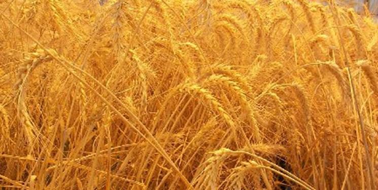 تولید گندم روسیه در مرز رکورد زدن/ مسکو به دنبال ابقای جایگاه خود در بازار گندم جهان