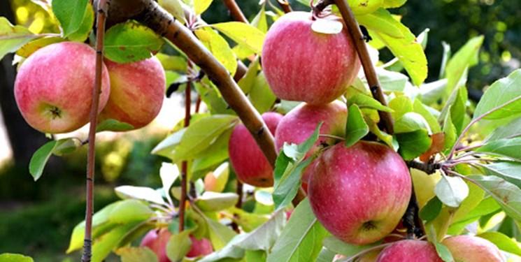 سیب زنوز دارای برند جهانی/برداشت 65 هزار تن انواع میوه در شهرستان ویژه مرند