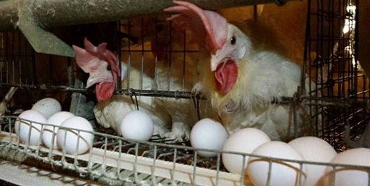 تخم،مرغ،قيمت،گذار،توليد،ماه،نبي،هشدار،پور،وضعيت،كاهش،وزير،كش ...