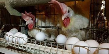 فعالیت 26 واحد پرورش مرغ تخمگذار در کرمانشاه/ بهزودی قیمت تخممرغ کاهش مییابد