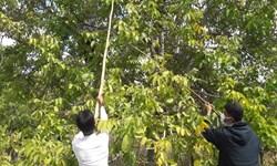 پیشبینی برداشت 400 تن گردو از باغات شاهین دژ در سال جاری