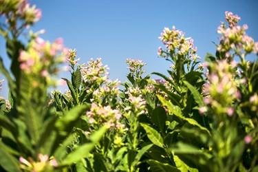مزرعه توتون منطقه جوجه سازی شهرستان مریوان