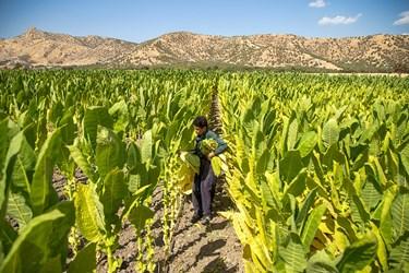 مزرعه توتون منطقه جوجه سازی شهرستان مریوان که آماده برداشت هستند. محمد از  نوجوانانی است که در کنار خانواده خود مشغول به کار است.