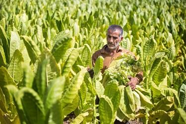 مزرعه توتون منطقه جوجه سازی شهرستان مریوان که آماده برداشت هستند.
