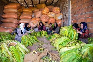بعد از برداشت برگ های توتون زنان روستا برگها ی تتون را برای خشک کردن به نخ می کشند.