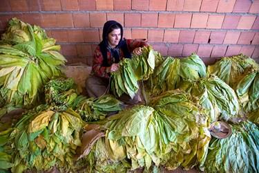 بعد از برداشت برگ های توتون زنان روستا برگها ی توتون را برای خشک کردن به نخ می کشند.