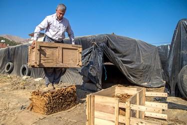بسته بندی برگهای توتون به وسیله قالب های چوبی