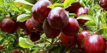 آقای وزیر به داد کشاورزان برسید/ هزار تن سیب ارسباران خریدار ندارد