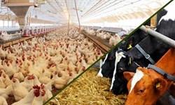 چالشهای توزیع و تأمین خوراک مرغداریهای کشور/کمیته مستقل بازرسی تشکیل شود