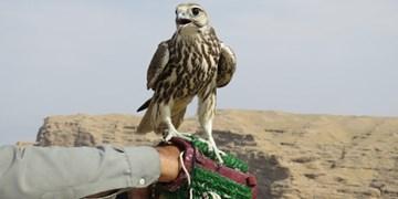 برخورد با شکارچیان زندهگیری پرندههای کمیاب/ قوش بازان کشورهای حاشیه خلیج فارس مشتریان پرندگان شکاری