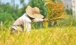 جولان دلالان برنج در استان فارس/ خطری که کشاورزان را تهدید میکند