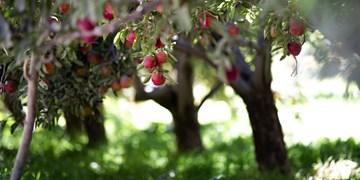 دستور معاون اول رئیس جمهور برای صادرات سیب