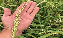 ضرورتی برای خرید برنج نداریم
