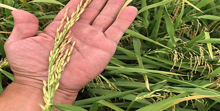 تخلیط برنج ایرانی در استانهای بزرگ کشور با نوع خارجی/برنجکاران حمایتی از دولت ندیدند