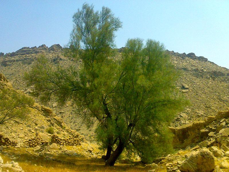 تولید چوب؛ گریزگاه بیابانزدایی در لارستان