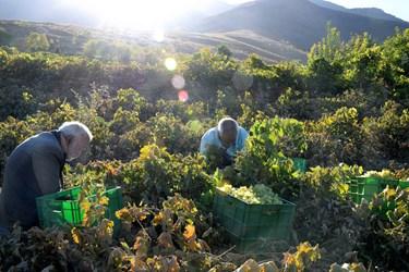 برداشت انگور در روستای هزاوه