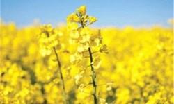 دانههای روغنی مازندران| کشاورزان: ترویج؛ حلقه گمشده در مدیریت تولید/ مسؤولان: خرید توافقی بیش از ۱۲ هزار تومان از کشاورزان