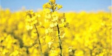 خرید کلزا در قالب کشاورزی قراردادی 9 درصد بالاتر از خرید تضمینی / افزایش 58 درصدی قیمت کلزا
