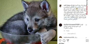 تجارت اینستاگرامی با توله گرگهای ۱۰ میلیون تومانی+عکس