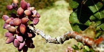 خسارت شدید سرمای بهاره به قطب پسته استان فارس