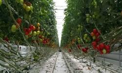 سالانه 850 تن گوجه فرنگی گلخانهای در آذربایجانغربی تولید میشود