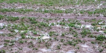 خسارت ۶۵۳ میلیارد ریالی سرما به کشاورزی شهرستان اقلید